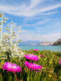 Ice plant flowers Stock Images