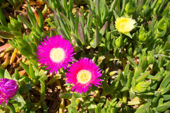 Ice plant Stock Photos