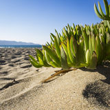 Ice Plant Stock Images