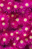 Ice plant. Lots of ice plant flowers Royalty Free Stock Images