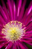 Ice plant. Macro shot of a single ice plant flower Stock Images