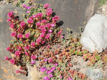 Ice plant and other succulents Royalty Free Stock Images