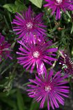 Ice plant. Pink flowered ice plant Stock Photography