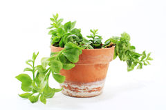 Ice Plant in Pot Stock Images