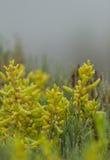 Ice plant succulent, Carpobrotus edulis, creeping ground cover Stock Photo