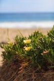 Ice plant succulent, Carpobrotus edulis Stock Image