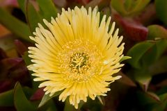Ice plant yellow Flower close up. On the coast of California Royalty Free Stock Image