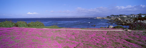 Ice Plants and Coreopsis in Springtime Stock Photos