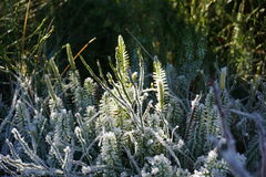 Ice on Plants royalty free stock photography