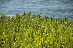 Ice plants. Nice ice plants also known as sea fig, with a background of the sea stock photos