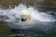 Ice- or Polar- Bear. A Ice-Bear play in the Water stock image