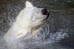 Ice- or Polar- Bear. A Ice-Bear play in the Water royalty free stock photos