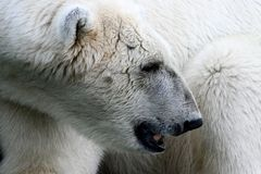 Ice- or Polar-Bear in Profile Royalty Free Stock Image