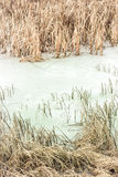 Ice in reeds Royalty Free Stock Photography