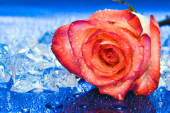 Ice with rose on blue Stock Photos
