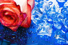 Ice with rose on blue Stock Images
