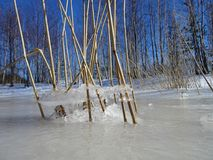 Reeds are waiting the spring to come. Ice on the sea and reeds are making nice view in front of the gulf of Finland Royalty Free Stock Photos