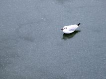 Ice seagull winter Royalty Free Stock Image