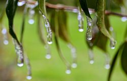 ICE SICKLE MELTING DROPS. Frozen water hanging from the leaves and stems of garden plants Stock Photo