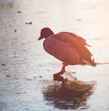 Ice Skating Duck at Sunset. A wild duck (mallard) is ice skating (or running) on a frozen pond in Lund, Sweden at sunset Stock Photography