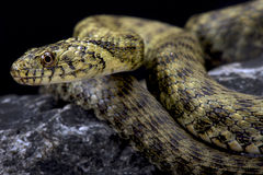Dice snake, Natrix tessellata. The ice snake, Natrix tessellata, is semi aquatic and found across large parts of Europe royalty free stock photos