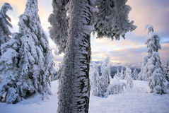 Ice and snow covered trees Royalty Free Stock Image