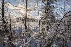 Ice And Snow Covered Winter Tree Branches Royalty Free Stock Photo