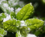 Ice and snow holly leaves Royalty Free Stock Photo