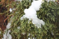 Ice and snow, pine tree stock photography