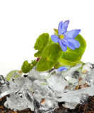 Ice and snowdrop flower Stock Images