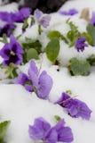 Ice & spring flowers Royalty Free Stock Photos