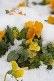 Ice & spring flowers Stock Photo