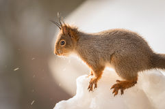 Ice sprinkles from squirrel Stock Image