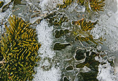 Ice on the spruce tree. Royalty Free Stock Photo