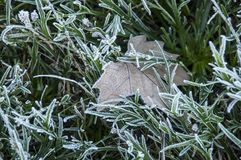 Ice mat with vegetation and leaves. Ice is the state in which the water stays when it is at low temperature and gives it the solid consistency Royalty Free Stock Photography