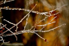 Ice storm on branches in NH in winter cold days Royalty Free Stock Photo