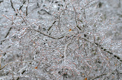 Ice storm on branches Royalty Free Stock Photography