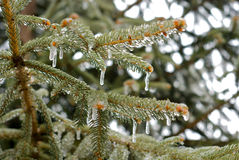 Ice Storm Displayed on Pine Needles. Pine needles, coated in ice during a winter storm Stock Photo