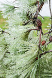Ice Storm in Texas. Ice in a pine tree after ice storm in Katy, TX Royalty Free Stock Photography