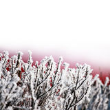 Ice on tree branches. Fresh snow on tree branches Royalty Free Stock Photography