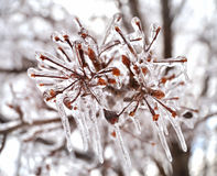 Ice on a tree branches Stock Photo