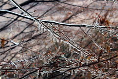 Ice on tree branches. Tree branches covered by ice Royalty Free Stock Photo