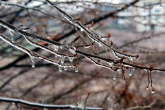 Ice on tree branches. Tree branches covered by ice Stock Photography