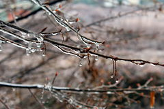Ice on tree branches. Tree branches covered by ice Stock Image