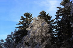 Ice on the trees, winter landscape, Železná Ruda, Czech Republic Royalty Free Stock Photography