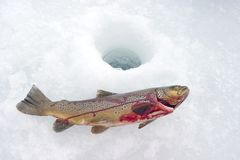 Ice Trout Icefishing Royalty Free Stock Photo
