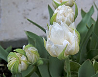 Ice Tulips in late spring Stock Image