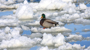 Ice Water and a Mallard Duck. Male Mallard duck standing on an ice flow in a frozen lake Royalty Free Stock Photos