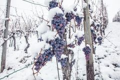 Ice wine. Wine red grapes for ice wine in winter condition and snow royalty free stock images