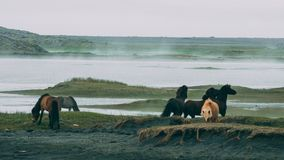 Icealnadic horses playing with each other in stokksnes with foggy grassland royalty free stock photo